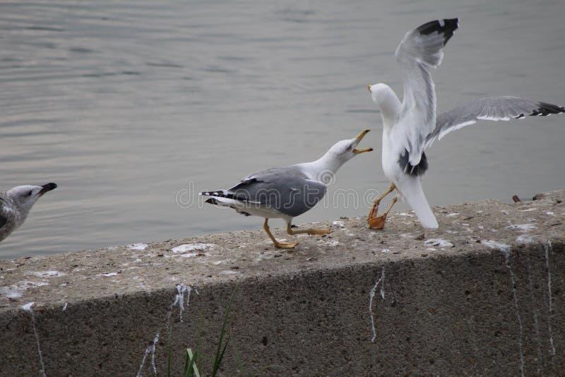 luta entre gaivota imagem de stock