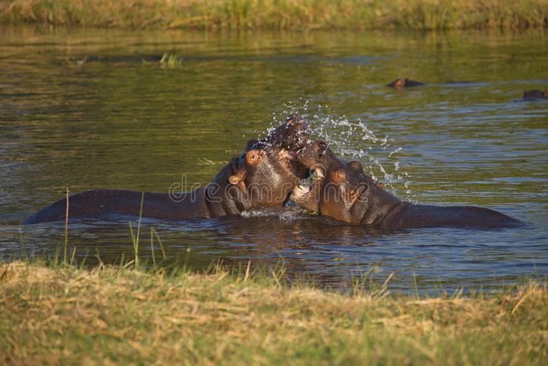 Luta o hipopótamo novo, amphibius do hipopótamo, Okavango, Botswana fotos de stock
