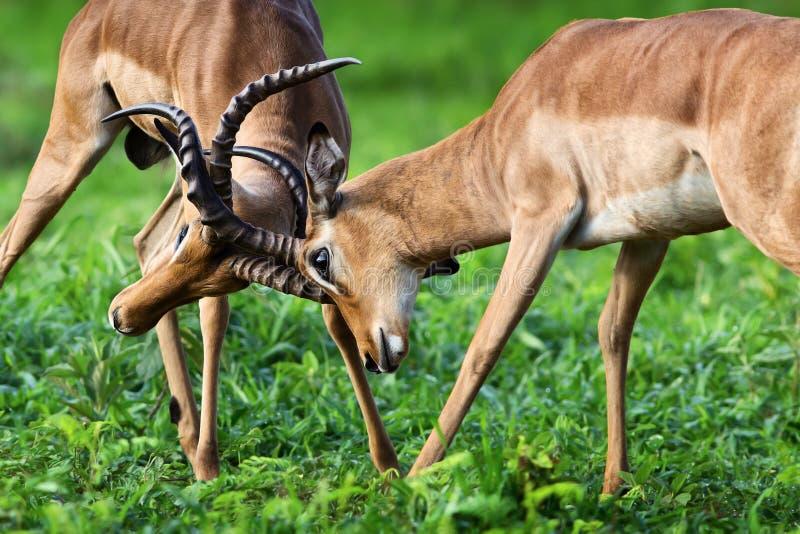 Luta territorial da impala para o dominanace fotos de stock royalty free