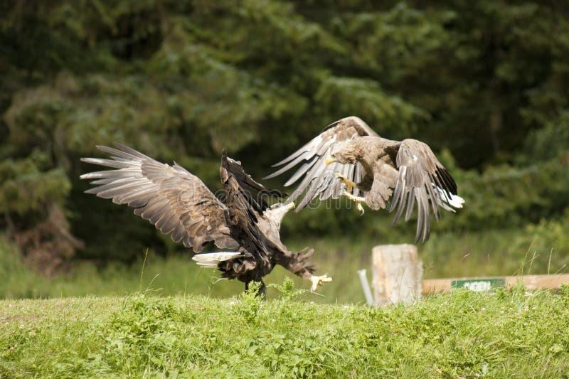 lutas Branco-atadas das águias fotos de stock royalty free