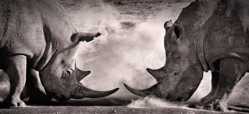 Lute, uma confrontação entre um rinoceronte de dois brancos no savana africano no lago Nakuru foto de stock
