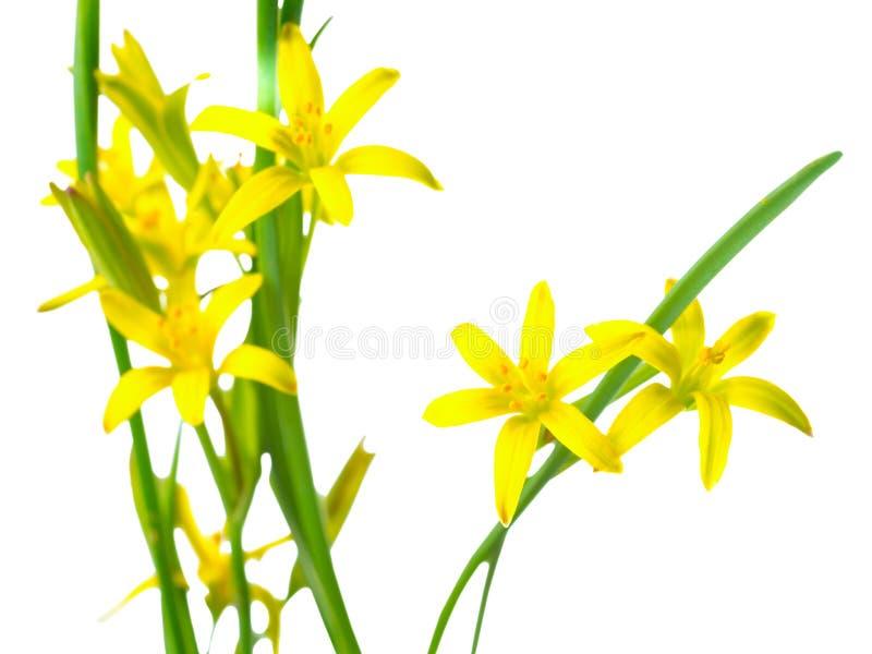 Lutea de Gagea (estrela de Belém amarela) imagens de stock royalty free