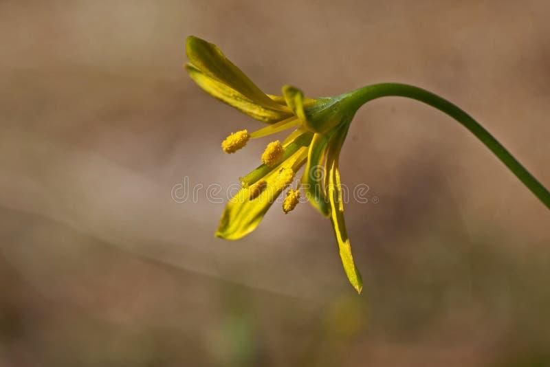 Lutea Gagea - желтое, небольшие цветки весны леса стоковые изображения