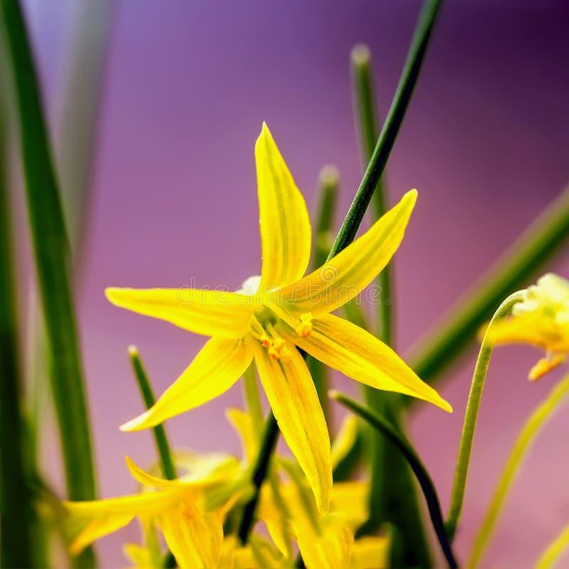 Lutea Gagea Зацветая желтый конец-вверх Звезд--Вифлеема Малый желтый первоцвет, первая весна цветет, солнце яркое стоковая фотография rf