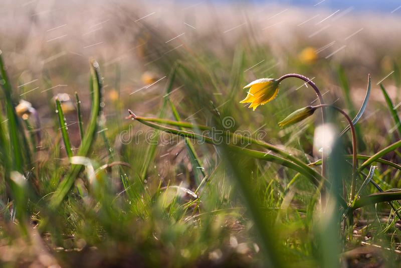 Lutea Gagea, цветки весны Lutea Gagea род herbaceous луковичных заводов семьи лилии ( Л стоковая фотография rf