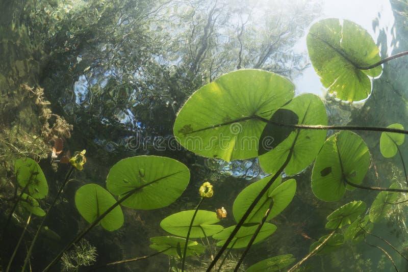 Lutea subacuático del nuphar del lirio de agua del paisaje fotografía de archivo