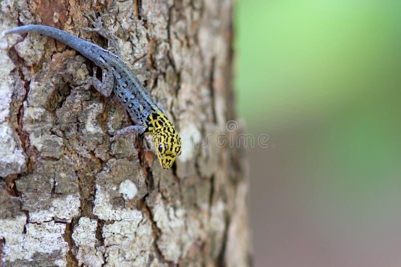 Luteopicturatus de Lygodactylus image libre de droits