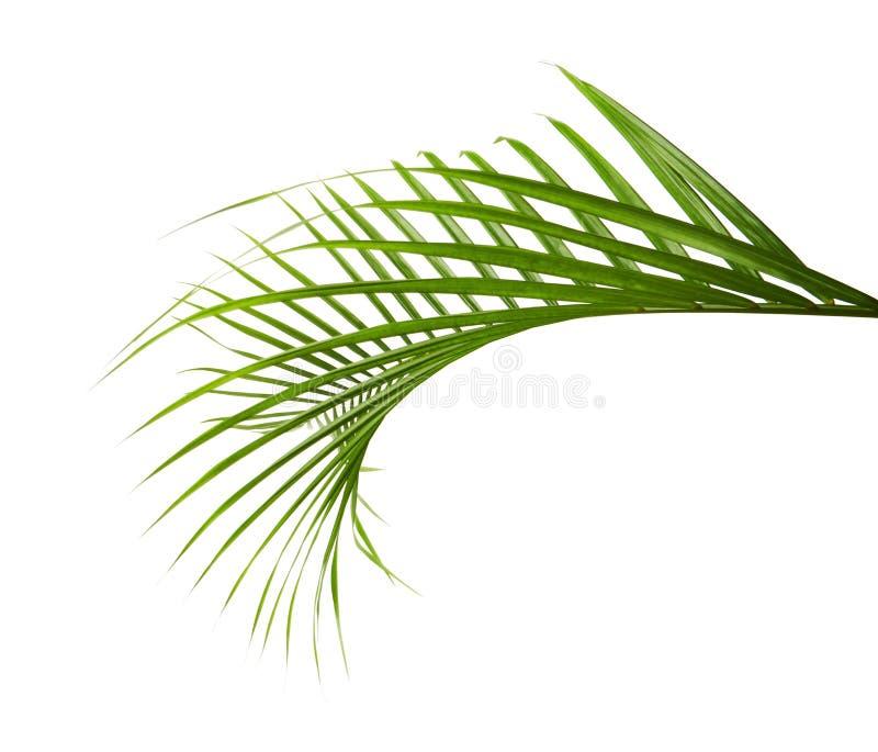 Lutescens amarelos de Dypsis das folhas de palmeira ou palma dourada do bastão, folhas de palmeira da areca, folha tropical isola fotografia de stock royalty free