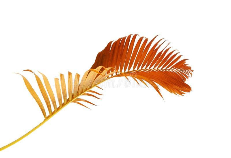 Lutescens amarelos de Dypsis das folhas de palmeira ou palma dourada do bast foto de stock royalty free