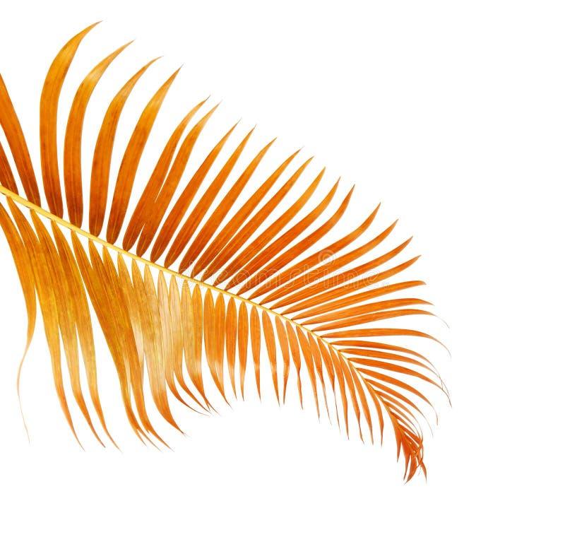 Lutescens amarelos de Dypsis das folhas de palmeira ou palma dourada do bast?o, folhas de palmeira da areca, folha tropical isola imagens de stock