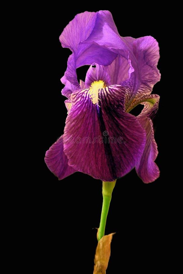 Lutescens d'iris photos libres de droits