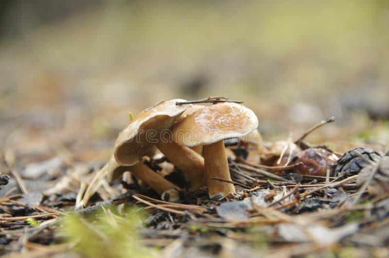 Luteus del Suillus fotografie stock