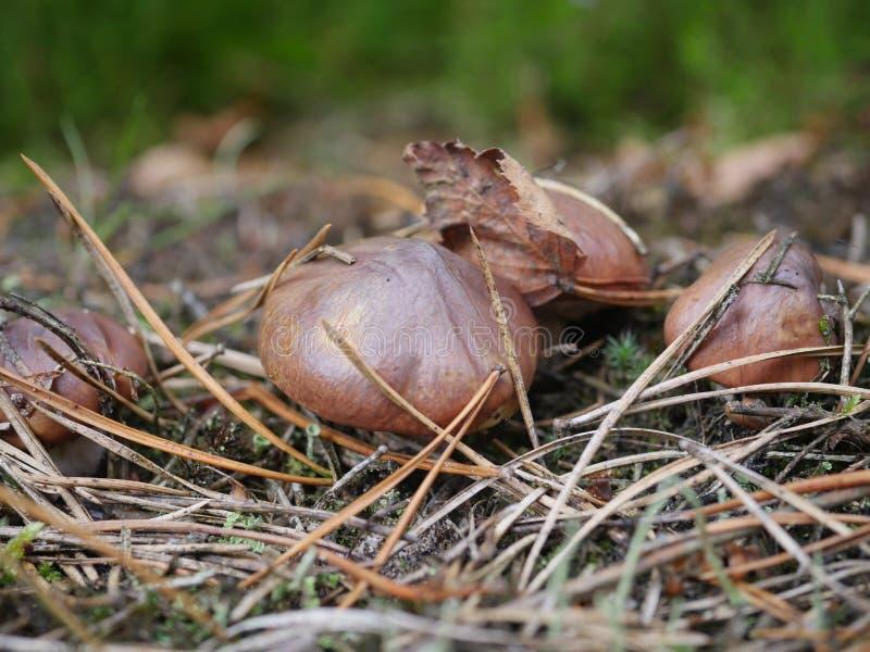 Luteus suillus μανιταριών ανάπτυξης στοκ εικόνες