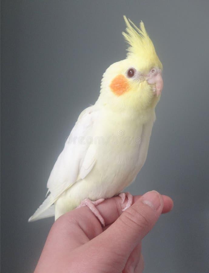 Lutino-Cockatiel stockfoto