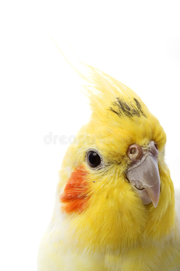 lutino de cockatiel photos stock