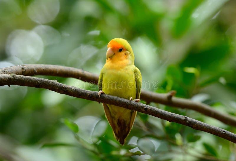 Lutino mutacja stawiał czoło lovebird (Agapornis roseicollis) fotografia stock