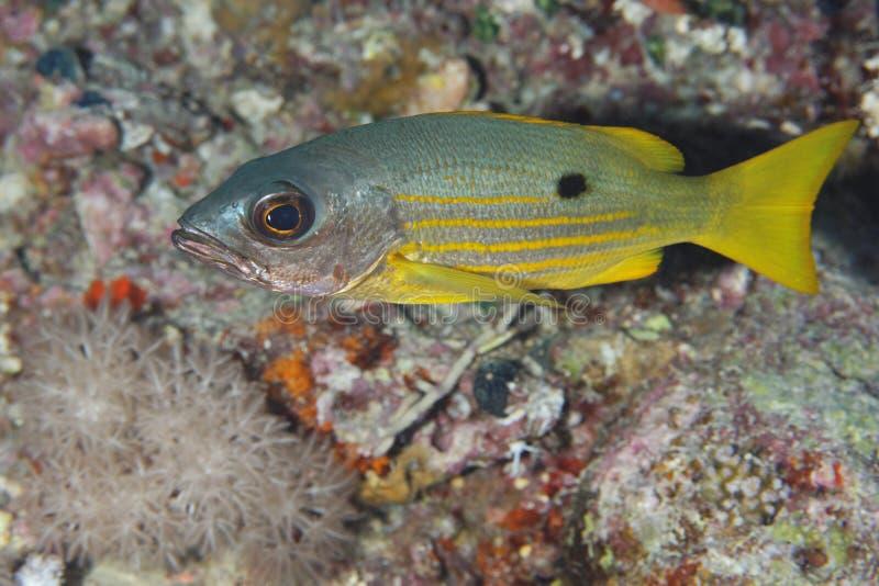 Lutjanus ehrenbergi - Snapper - Red Sea stock photography