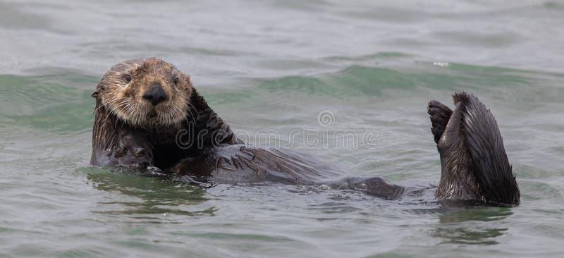 Lutris curiosos del Enhydra de la nutria de mar que flotan en la bahía de Monterey del Océano Pacífico imagen de archivo libre de regalías