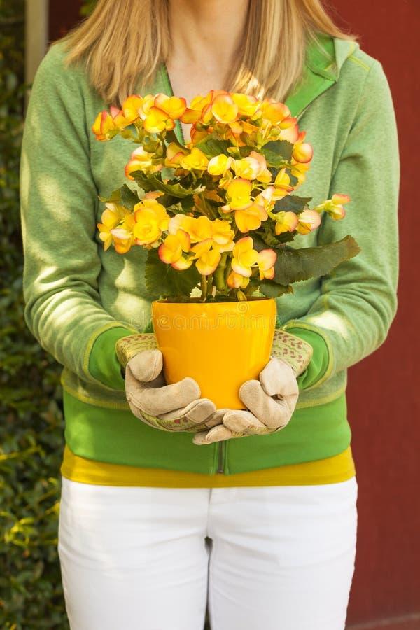 Luvas vestindo do trabalho do jardineiro da mulher que guardam a planta em pasta de florescência da begônia Jardinagem do verão d fotografia de stock royalty free