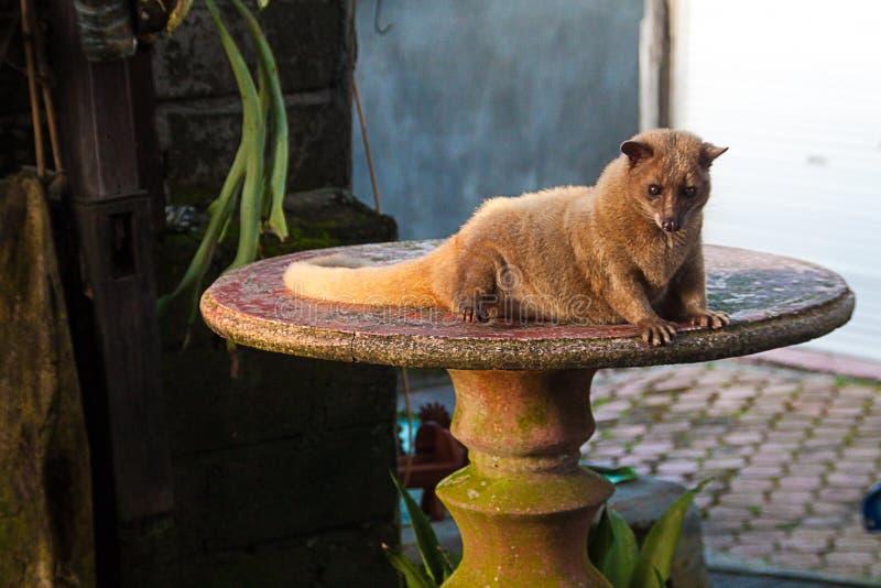 Luwak cybeta kot zdjęcie stock