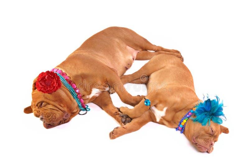 Luxueuze Dogues DE Bordeaux royalty-vrije stock foto's