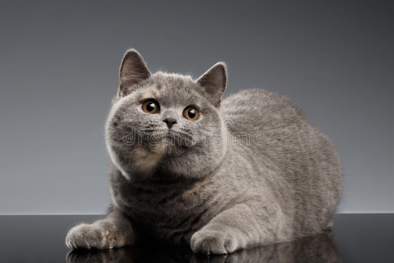 Luxuoso Gray British Cat Lying, olhares curiosos no fundo escuro imagem de stock