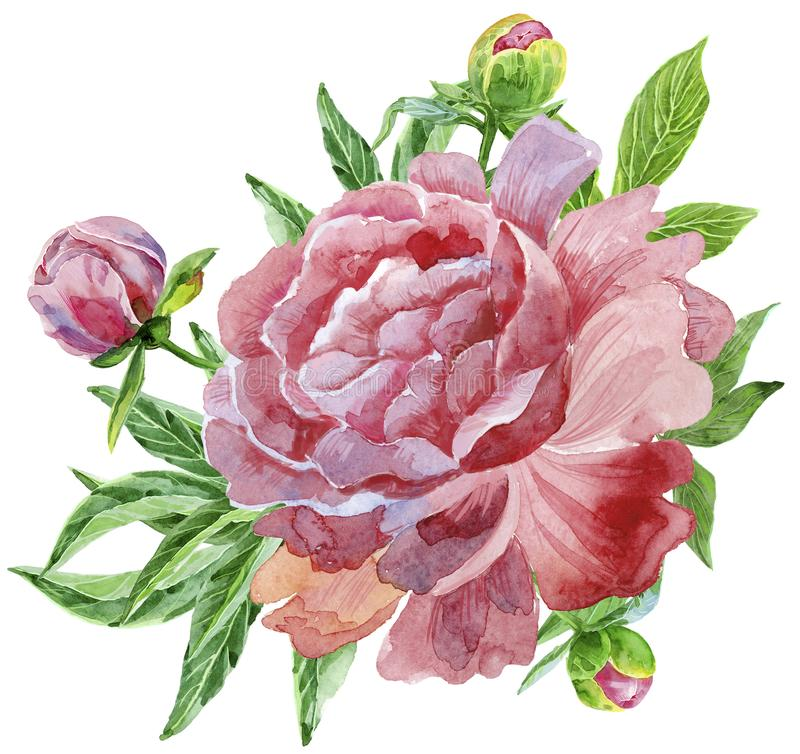 Luxuriöse dunkle rosa Pfingstrose mit den Knospen und den Blättern stock abbildung