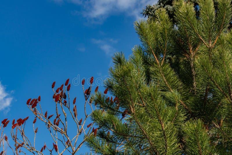 Luxuriöse Pinus nigra, österreichische Kiefer oder Schwarzkiefer im Garten gegen blauen Himmel Auf links wie roten Kerzen, Rhus t lizenzfreies stockfoto