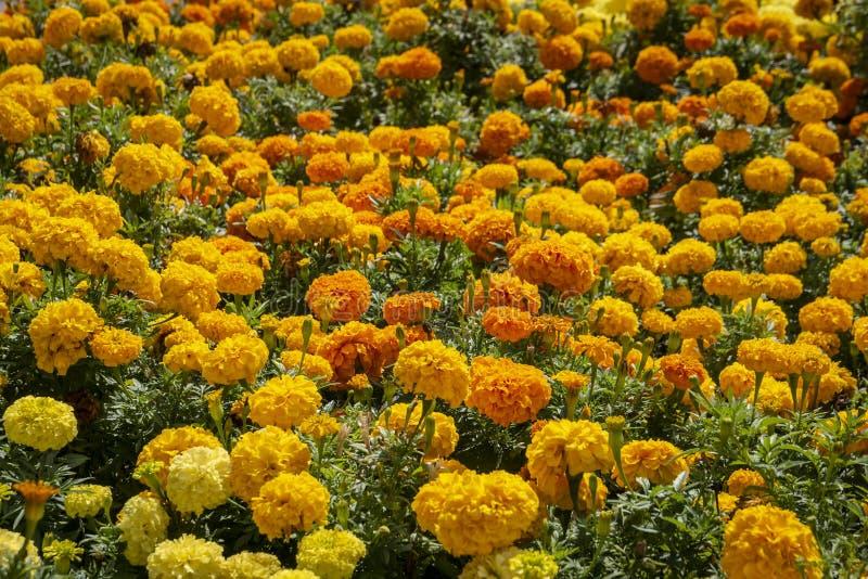 Luxuriöses Blumenbeet der gelben und orange Ringelblume blüht lizenzfreie stockfotografie