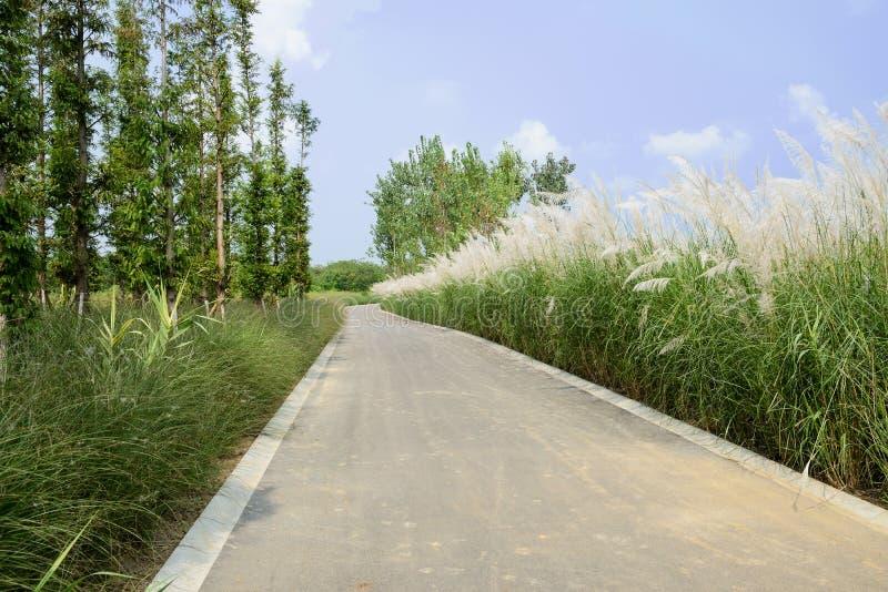 Luxuriant тростники и древесины вдоль дороги асфальта в солнечном лете стоковые изображения rf