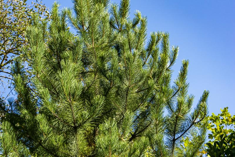 A luxurious Austrian pine or black pine in a garden against a bright blue cloudless sky. Nature concept for design royalty free stock images