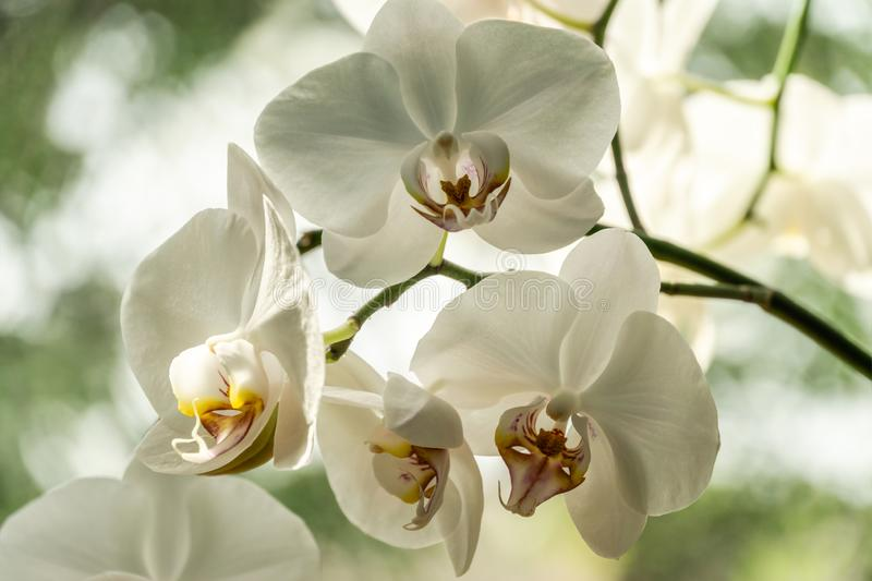 Luxurious branch of white phalaenopsis orchid flower Phalaenopsis, known as the Moth Orchid or Phal on bokeh background. Luxurious branch of white phalaenopsis royalty free stock photography