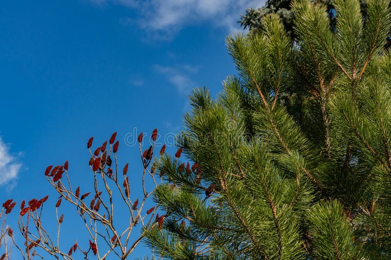 Luxurious Pinus nigra, Austrian pine or black pine in garden against blue sky. On left, like red candles, Rhus typhina. Staghorn sumac, Anacardiaceae fruits royalty free stock photo