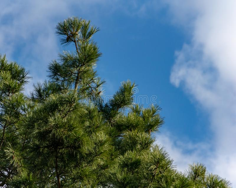 Luxurious Pinus nigra, Austrian pine or black pine in garden against bright blue with clouds sky. Place for your text. Nature concept for design royalty free stock photography