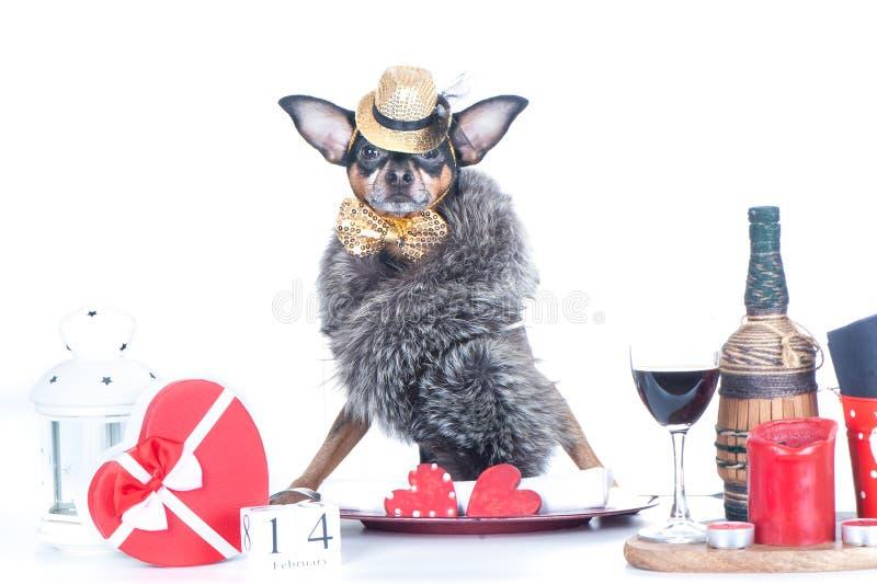 Luxurir hund sitter vid bordet Alla hjärtans dagtema Glad valentindag-kort isolerat på vitt royaltyfri foto