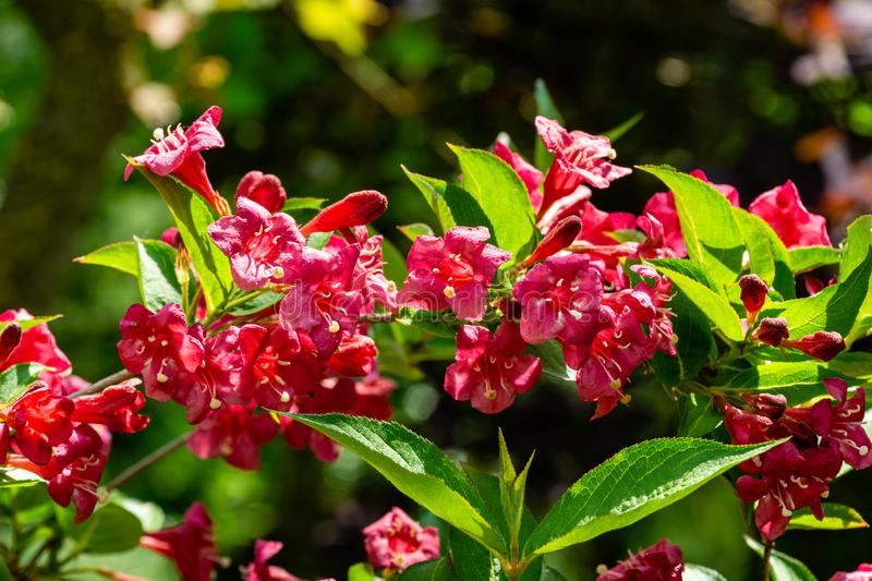 Luxury bush of flowering Weigela Bristol Ruby. Selective focus and close-up beautiful bright pink flowers. Against the evergreen in the ornamental garden royalty free stock photography