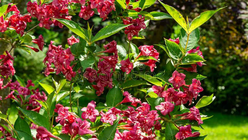 Luxury bush of flowering Weigela Bristol Ruby. Selective focus and close-up beautiful bright pink flowers. Against the evergreen in the ornamental garden stock photos