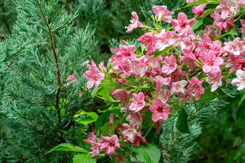 Luxury bush of flowering Weigela hybrida Rosea. Selective focus and close-up beautiful bright pink flowers. Against the evergreen in the ornamental garden royalty free stock image