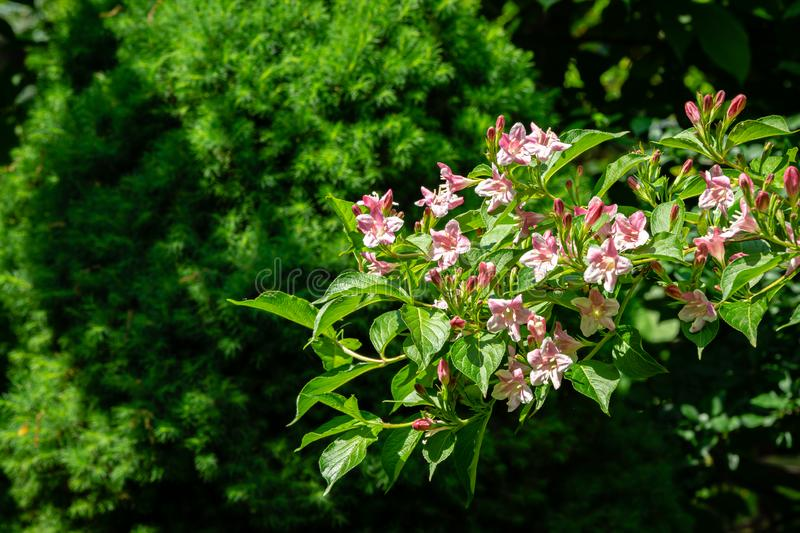 Luxury bush of flowering Weigela hybrida Rosea. Selective focus and close-up beautiful bright pink flowers. Against Canadian spruce Picea glauca Conica in royalty free stock photography