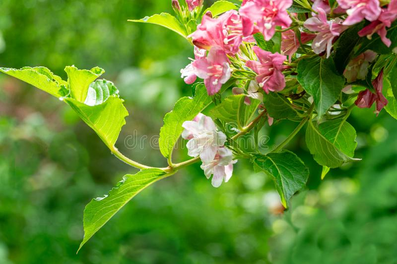 Luxury bush of flowering Weigela hybrida Rosea. Selective focus and close-up beautiful bright pink flowers stock photo