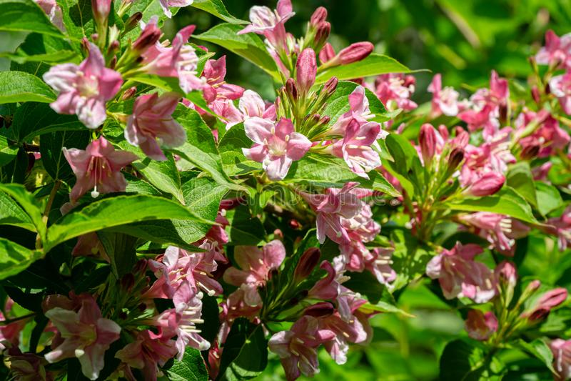 Luxury bush of flowering Weigela hybrida Rosea. Selective focus and close-up beautiful bright pink flowers. Against the evergreen in the ornamental garden stock images