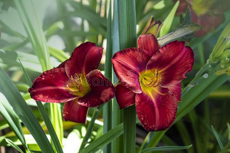 Luxury flower Daylily Hemerocallis Wayside King Royale in the garden. Edible flower. Daylilies are perennial plants. They only. Bloom for 24 hours royalty free stock photo