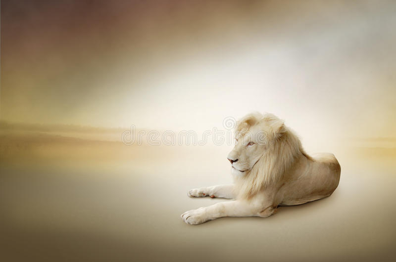 Luxury photo of white lion, the king of animals. Luxury photo of white lion stock photos