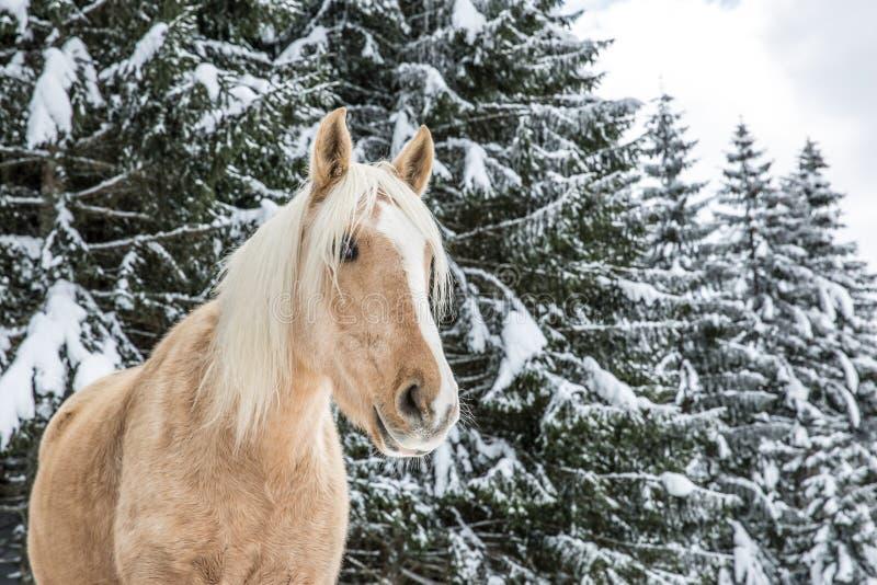 Luz - égua marrom do Palomino em Jura Pine Trees Forest nevado na vitória foto de stock royalty free