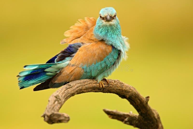 Luz agradável da cor - rolo europeu do pássaro azul que senta-se no ramo com conta aberta, fundo amarelo borrado imagem de stock