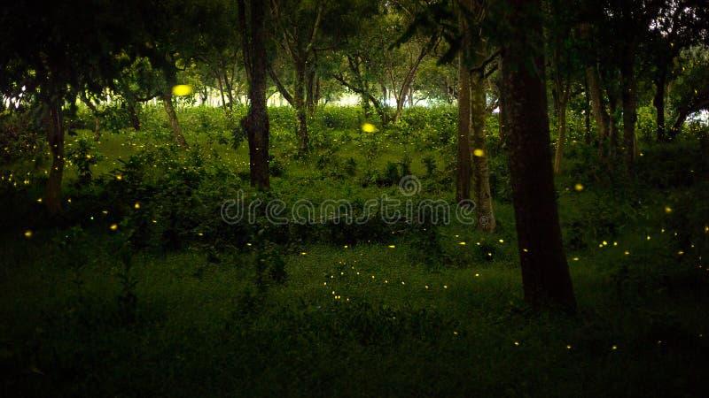 Luz amarela da mosca do vaga-lume na floresta da natureza na noite após sóis fotografia de stock royalty free