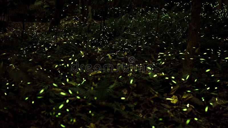 Luz amarela do voo na floresta da noite, fundo do inseto do vaga-lume de Taiwan foto de stock royalty free