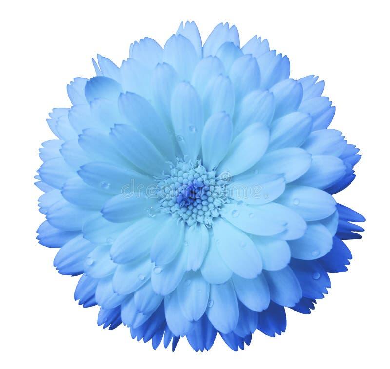 Luz - azul, calendula delicado da flor, pétalas azuis com orvalho, branco isolou o fundo imagens de stock royalty free