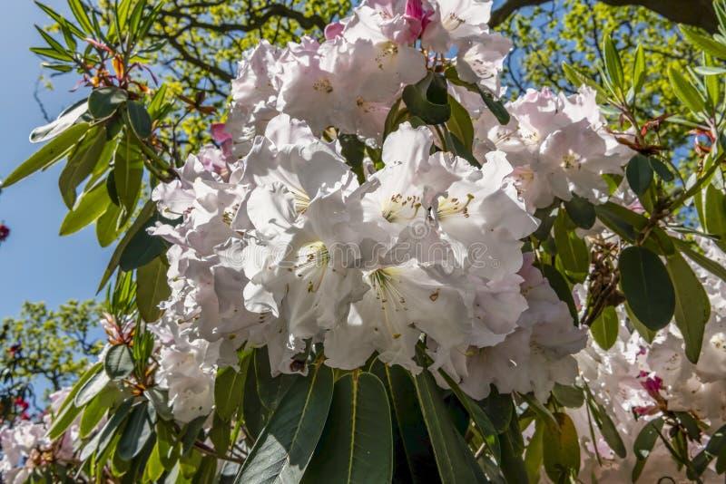 Luz bonita - a árvore cor-de-rosa da magnólia com florescência floresce durante a primavera no jardim inglês, o Reino Unido, foto de stock
