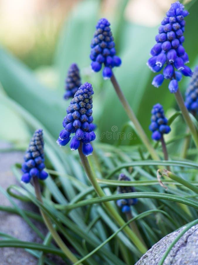 Luz bonita da flor do muscari - azul em um jardim fotos de stock